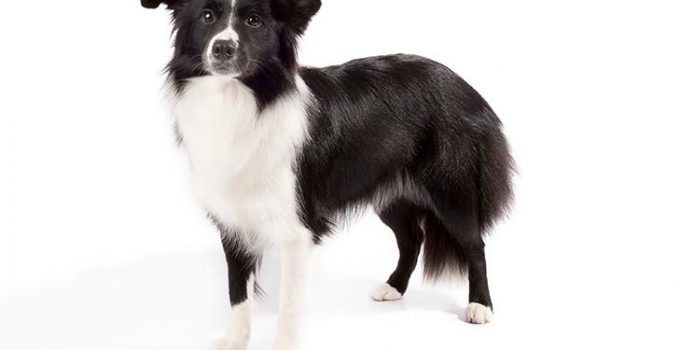 Border Collie Dog Breed Information All You Need To Know
