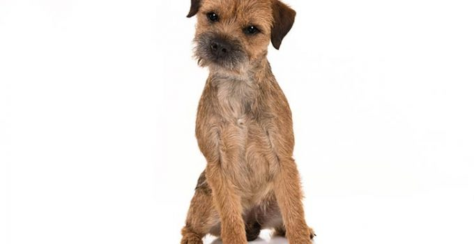 Border Terrier Dog Breed Information All You Need To Know