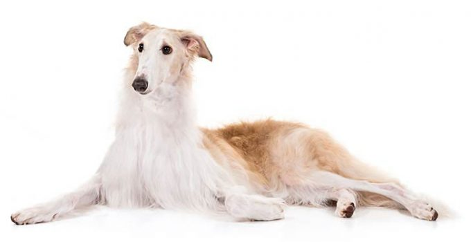 Borzoi Dog Breed Information All You Need To Know