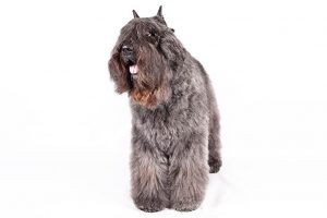Bouvier Des Flandres Dog Breed Information – All You Need To Know
