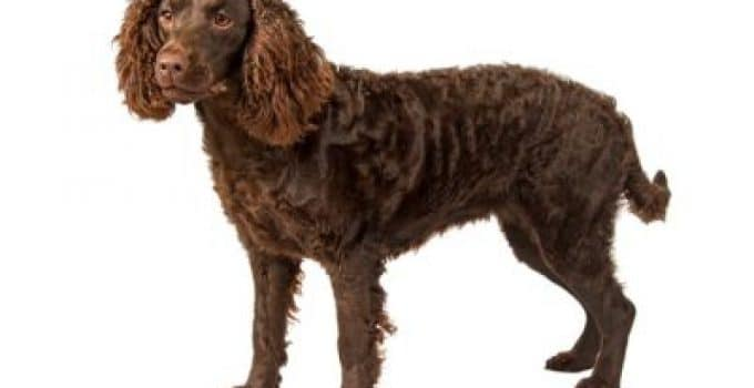 Boykin Spaniel Dog Breed Information – All You Need To Know