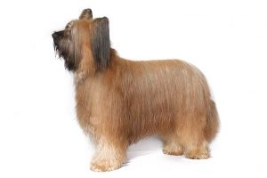 Briard Dog Breed Information – All You Need To Know