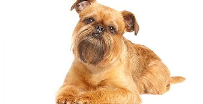 Brussels Griffon Dog Breed Information – All You Need To Know