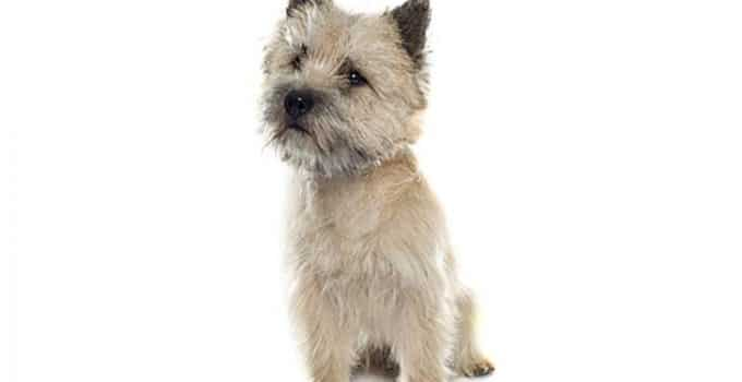 Cairn Terrier Dog Breed Information – All You Need To Know
