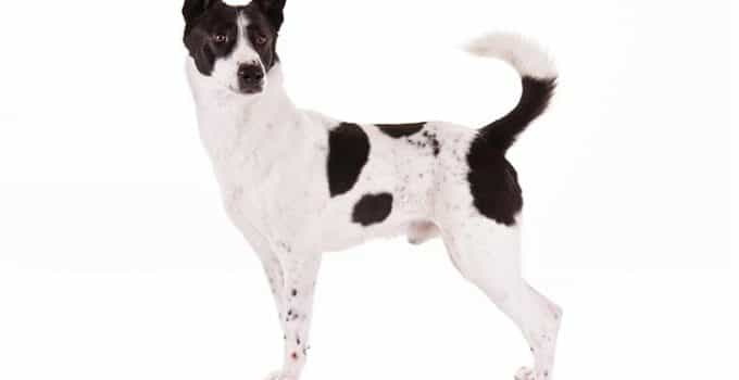 Canaan Dog Breed Information – All You Need To Know