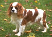 Cavalier King Charles Spaniel Breed Information – All You Need To Know