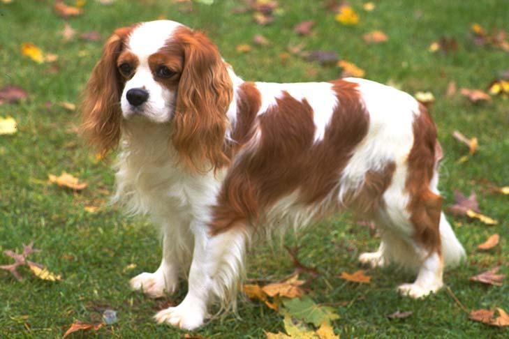 Cavalier King Charles Spaniel Breed