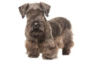 Cesky Terrier Breed Information – All You Need To Know