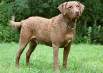Chesapeake Bay Retriever Dog Breed Information – All You Need to Know