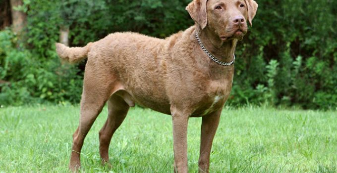 Chesapeake Bay Retriever Dog Breed Information All You Need To Know