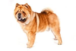 Chow Chow Dog Breed Information – All You Need To Know