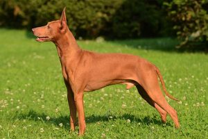 Cirneco Dell'etna Dog Breed Information – All You Need To Know