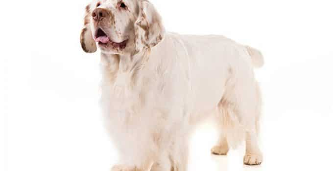 Clumber Spaniel Dog Breed Information – All You Need To Know