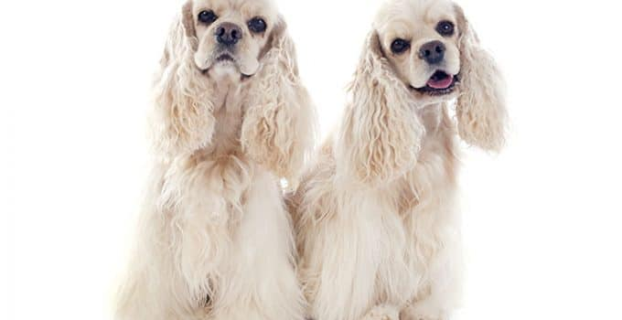 Cocker Spaniel Dog Breed Information – All You Need To Know