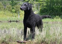 Curly Haired Retriever Dog Breed Information All You Need To Know