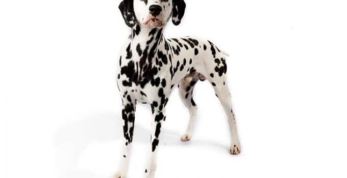 Dalmatian Dog Breed Information All You Need To Know