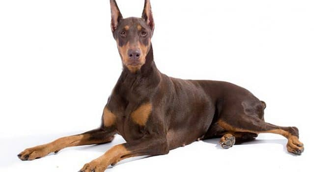 Doberman Pinscher Dog Breed Information All You Need To Know