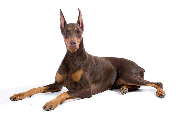 Doberman Pinscher Dog Breed Information All You Need To