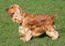 English Cocker Spaniel Dog Breed Information – All You Need To Know
