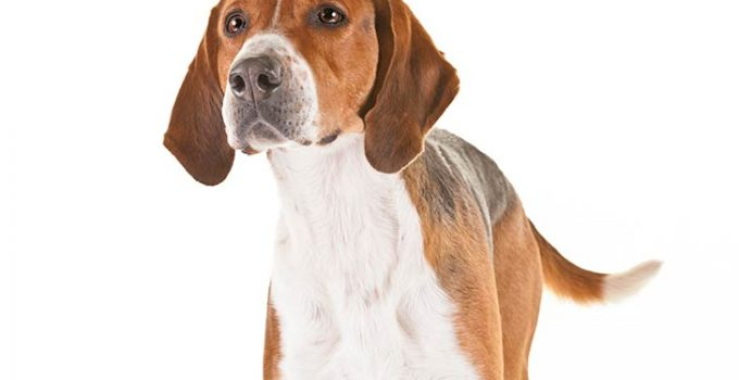 English Foxhound Dog Breed Information All You Need To Know