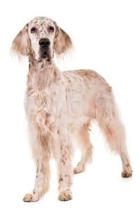 English Setter Dog Breed Information – All You Need To Know