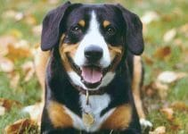 Entlebucher Mountain Dog Breed Information – All You Need to Know