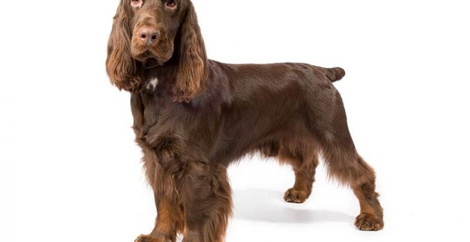 Field Spaniel Dog Breed Information All You Need To Know