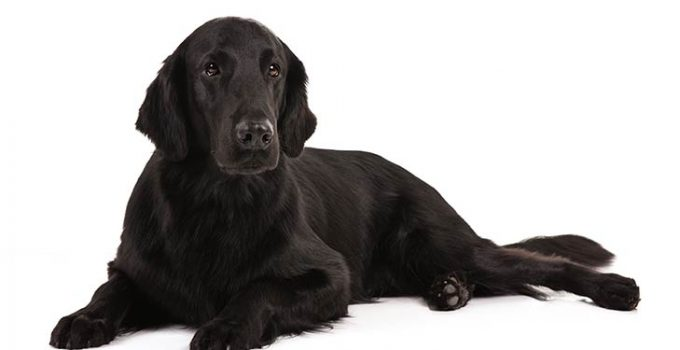 Flat Coated Retriever Dog Breed Information All You Need To Know