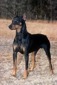 German Pinscher Dog Breed Information All You Need To Know