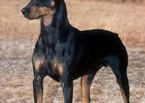 German Pinscher Dog Breed Information – All You Need to Know