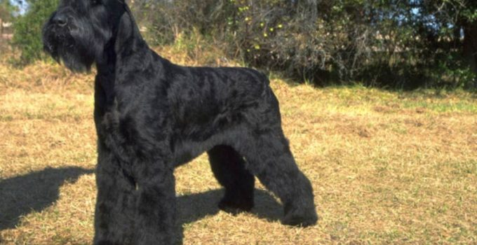 Giant Schnauzer Dog Breed Information – All You Need To Know