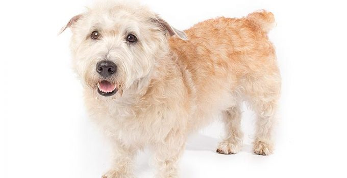 Glen Of Imaal Terrier Dog Breed Information – All You Need To Know