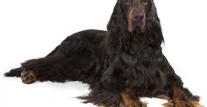 Gordon Setter Dog Breed Information – All You Need To Know