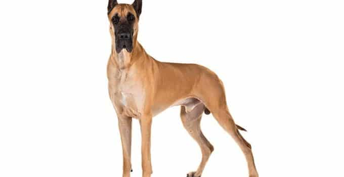 Great Dane Dog Breed Information – All You Need To Know