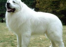Great Pyrenees Dog Breed Information All You Need To Know