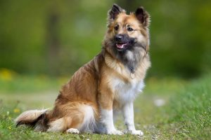 Icelandic Sheepdog Dog Breed Information – All You Need To Know