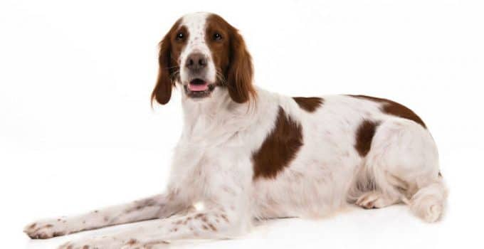 Irish Red And White Setter Dog Breed Information – All You Need To Know