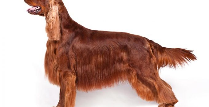 Irish Setter Dog Breed Information All You Need To Know