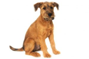 Irish Terrier Dog Breed Information – All You Need To Know