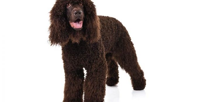 Irish Water Spaniel Dog Breed Information All You Need To Know