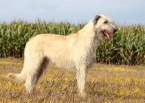 Irish Wolfhound Dog Breed Information – All You Need To Know