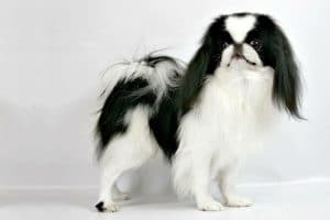 Japanese Chin Dog Breed Information - All You Need To Know