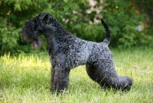 Kerry Blue Terrier Dog Breed Information All You Need To Know