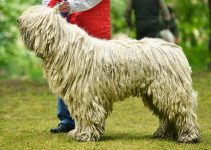 Komondor Dog Breed Information All You Need To Know