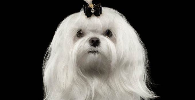 Maltese Dog Breed Information – All You Need To Know