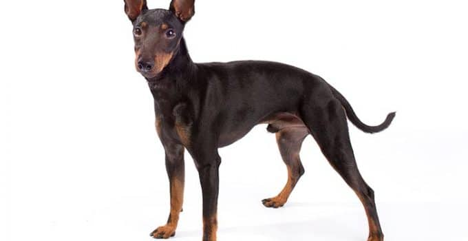 Manchester Terrier Dog Breed Information – All You Need to Know
