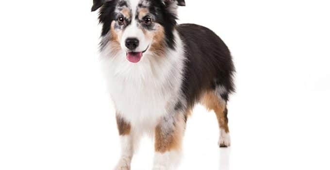 Miniature American Shepherd Dog Breed Information – All You Need To Know