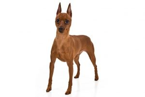 Miniature Pinscher Dog Breed Information All You Need To Know