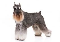 Miniature Schnauzer Dog Breed Information – All You Need to Know