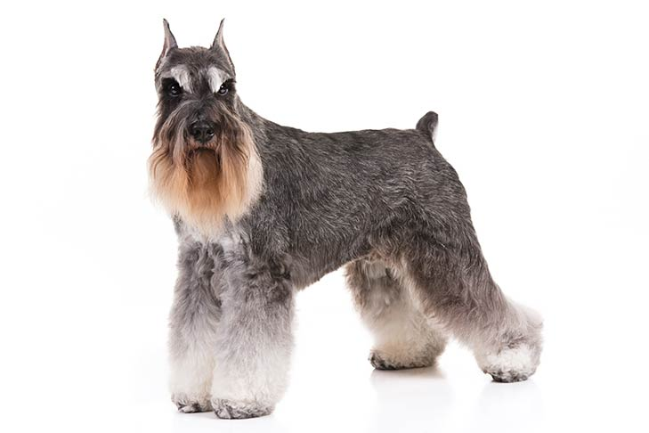 Miniature Schnauzer Dog Breed Information All You Need